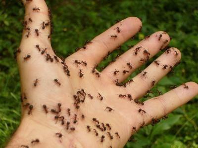 Борьба с муравьями в теплицах и парниках