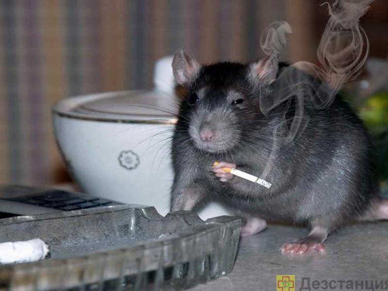 Борьба с крысами в квартире